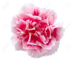beautiful pink carnation isolated on white background stock photo