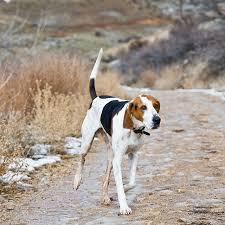 bluetick coonhound drool bbs breed spotlight treeing walker coonhound best bully sticks