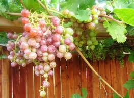 red seedless grapes from our own backyard vegetable gardener