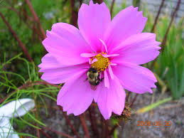 Types Of Garden Flowers Cosmos How To Plant Grow And Care For Cosmos Flowers The Old