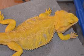 bearded dragon photos bearded dragons sale
