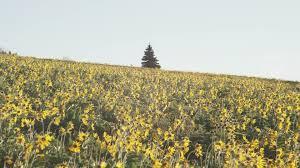 Montana vegetaion images Sunflower field glacier national park montana usa hd stock jpg