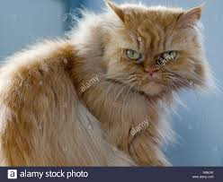 evil cat stock photos u0026 evil cat stock images alamy