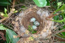 Ontario Backyard Birds How To Identify Bird Nests And Eggs The Gilligallou Bird Store