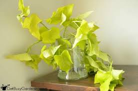 Indoor Vine Plant How To Overwinter Sweet Potato Vine Cuttings Indoors