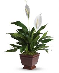 12 best houseplants for improving the air quality in your home