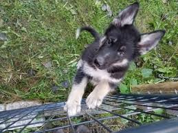 belgian shepherd for sale in india native american indian dog puppies and dogs for sale in usa