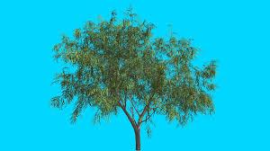 honey mesquite tree thin trunk narrow leaves fluttering green