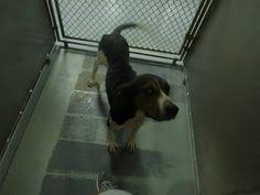 bluetick coonhound rescue nc redbone coonhound mix m 2 3 years neutered 14 474 named benny in