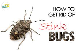 Bed Bugs Smell How To Get Rid Of Stink Bugs Fab How