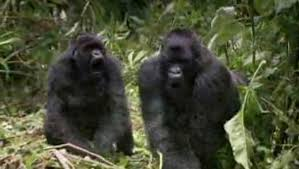 Gorilla by Gorilla Nature Pbs