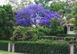 Flower San Jose - jacaranda tree a favorite i discovered in san jose ca they