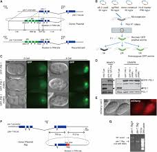 Flag Tag Dna Sequence A Co Crispr Strategy For Efficient Genome Editing In