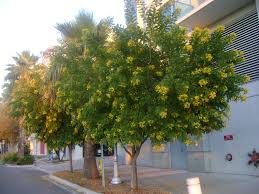 buy cassia tree for sale in orlando sanford kissimee