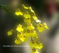 oncidium orchid care tips dancing lady orchid