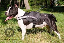 american pitbull terrier in uk staffordshire bull terrier walking tips pitbull store pitbull