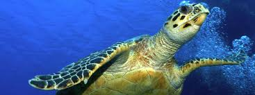 hawksbill turtle sea turtles species wwf