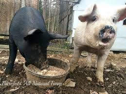 euthanization u2013 barefoot all natural farm
