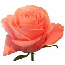 Shade Of Orange Names Sunland Roses Boutique Rose Farm And Exporters Of High Quality