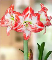 amaryllis flower amaryllis post care easy to grow bulbs