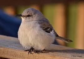 cold mockingbird phil thach