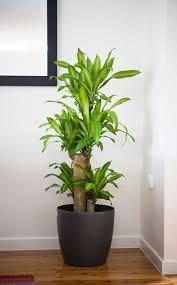 Beautiful Indoor Plants 5 Big And Beautiful Indoor Plants Flower Power