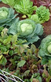 kill weeds in vegetables gardens get rid of your veggie garden weeds