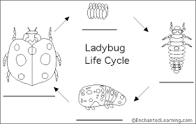 ladybug life cycle worksheet calleveryonedaveday
