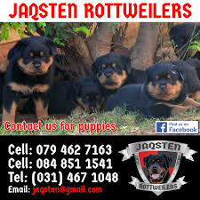 lion heads for sale kusa registered rottweiler pups for sale show quality lion