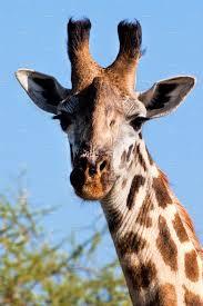 giraffe portrait tanzania africa animal photos creative market