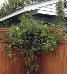 luscious flowers that climb and blossom in fairbanks gardening