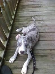 american pitbull terrier blue pitbull terrier american staffordshire terrier pit bull puppy dog