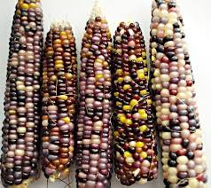 popular indian corn seeds buy cheap indian corn seeds lots from