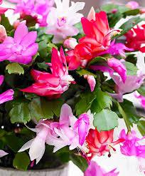 buy house plants now mixed christmas cactus u0027tricolor u0027 bakker com
