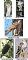 best 25 hawks ideas on pinterest red tailed hawk pretty birds