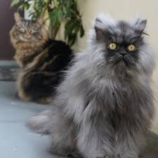 Colonel Meow Memes - long haired colonel meow long hair trend 2017