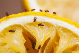 What Are The Small Flies In My Bathroom How To Control And Treat Fruit Flies Pest Control Chemicals 800