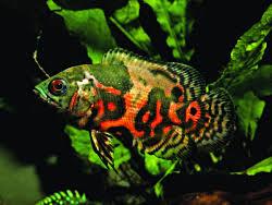 feeding oscars in the home aquarium details articles tfh