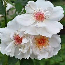 Fragrant Rose Plants - 293 best roses 32 images on pinterest rose varieties flowers