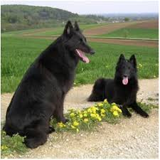belgian shepherd breeds 392 best belgian shepherd images on pinterest belgian shepherd