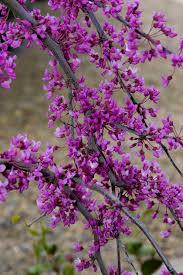 lavender twist redbud monrovia lavender twist redbud