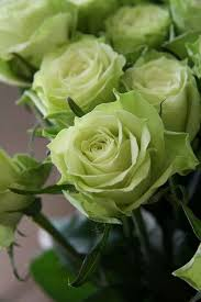 green roses 84 best rosas verde images on green flowers and