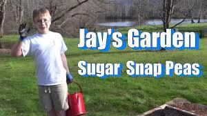 jay u0027s garden planting sugar snap peas season 3 episode 2