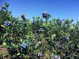 Little Berry Little Berry Blue Nwadg