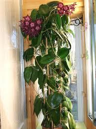 hoya macgillivrayi hoyas make great hanging plants for a bright