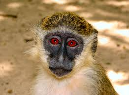 monkeys contracted bacterial pathogen from humans