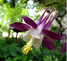 columbine flowers columbine flower picture gallery 34 pics