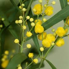 sorte de bambou mimosa planter et tailler u2013 ooreka