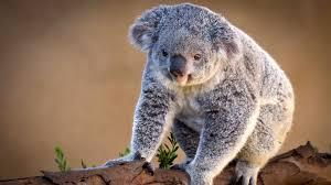 hd koala wallpapers download free 837239