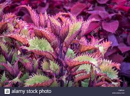 henna coleus ornamental foliage with coleus plant in stock